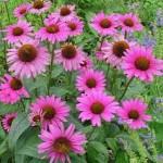 Echinacea, aiuto naturale per il sistema immunitario