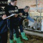 """#Ragusa. Bovini """"gonfiati"""" e latte-veleno, vasta operazione dei carabinieri"""