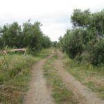Importazioni dall'estero e mosca killer, in Sicilia la campagna olivicola è a rischio