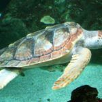 Da Catania a Cagliari, il lungo viaggio di una tartaruga