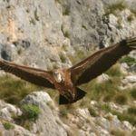 Alcara Li Fusi paradiso degli ambientalisti e i grifoni tornano sui Nebrodi