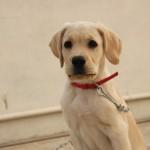 #Ragusa. Salvati 7 cuccioli meticci di labrador a Modica