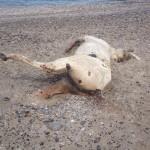 #Messina. Orrore in spiaggia: la carcassa di un cavallo abbandonata per giorni