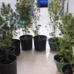 #Palermo. Scoperta piantagione di marijuana, sequestrate oltre 600 piante