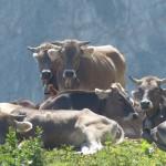#Regione. Brucellosi l'emergenza si affronta coinvolgendo gli allevatori
