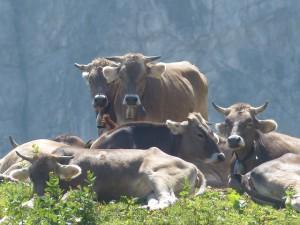 mucche pascolo