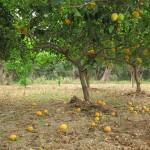 #Siracusa. Arrestati ladri di limoni nelle campagne di Noto