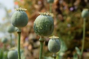 poppy-677959_640