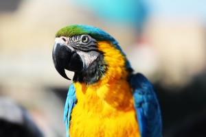 ara pappagallo
