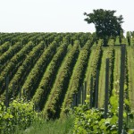 #Catania. Controlli in agricoltura, scoperti quattordici lavoratori in nero