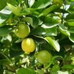#Siracusa. Rubano 800 chili di limoni, arrestati due catanesi a Noto