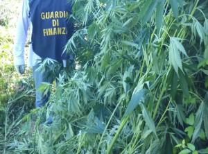 Guardia di Finanza Marijuana (5)