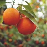 #Lentini. Rubano 500 chili di arance, arrestati due trentenni