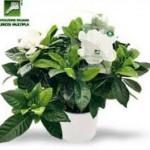 #Messina. La gardenia di AISM per la festa della donna