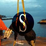 #Messina. Centinaia di e-mail per salvare il bovino rinvenuto nello stretto