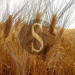 #Sicilia. Commissione sulle varietà da conservazione e i grani antichi, oltre 40 le istanze presentate