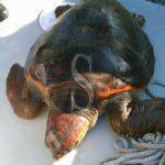Cronaca. La Guardia di Finanza di Milazzo salva esemplare di tartaruga Caretta caretta