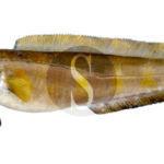 Cronaca. Messina, vende brosme spacciandolo per merluzzo: denunciato pescivendolo