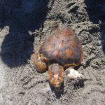 "Cronaca. Terme Vigliatore, gruppo di giovani salva tartaruga ""caretta caretta"""