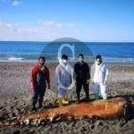 Un grosso esemplare di globicefalo ritrovato in spiaggia a Terme Vigliatore
