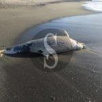 Terme Vigliatore, cadavere di delfino scoperto sulla spiaggia di Marchesana