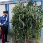 Messina, piantagione di droga a Santo Stefano Medio: tre arresti